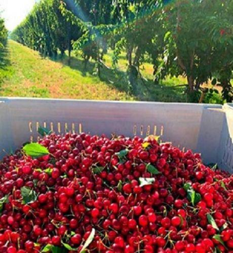 traina foods cherry orchard harvest