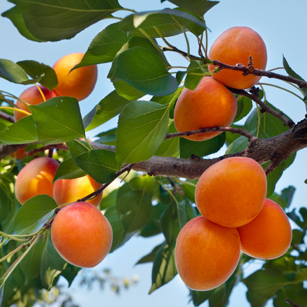 beautiful-california-apricot-orchard-branch-with-blue-sky-in-background