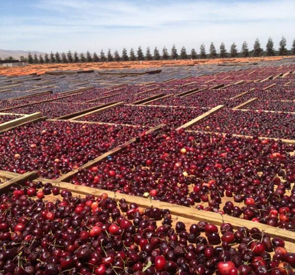 California Sun Dried Pitted Ranier Cherries