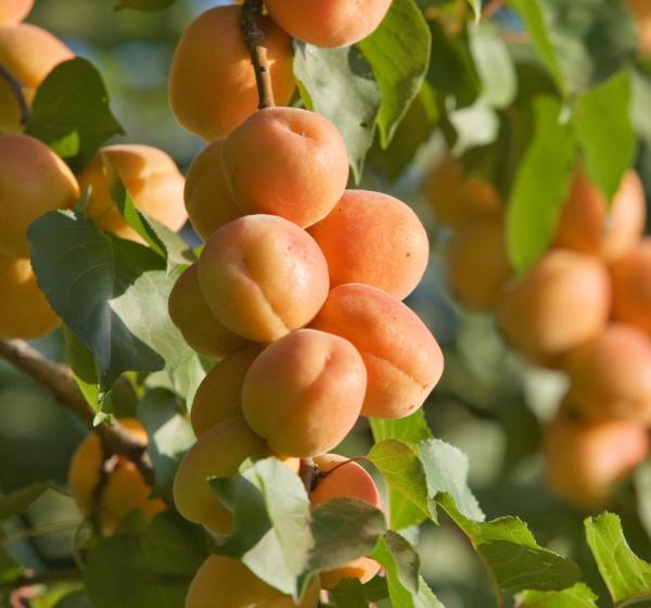 Traina Apricots