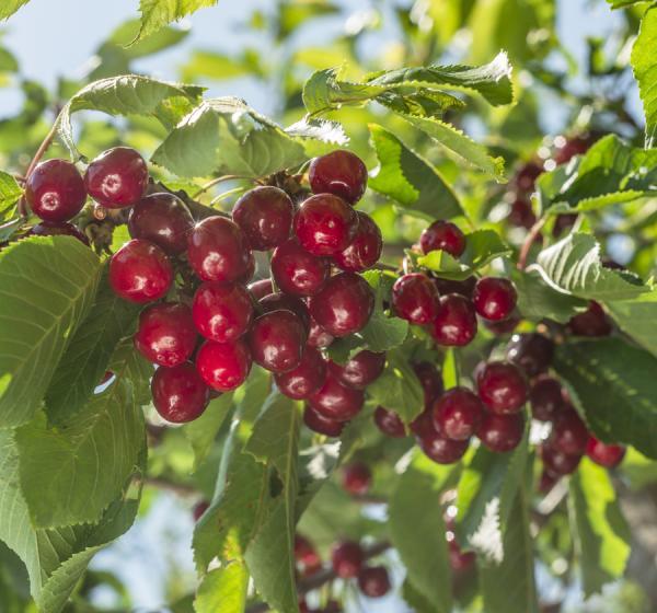 Traina Cherries