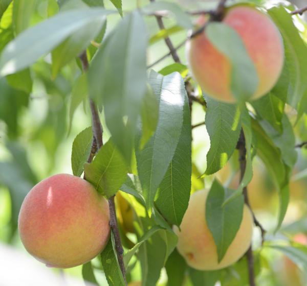 Traina Peaches