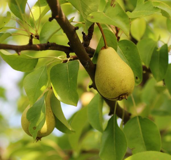 Traina Pears