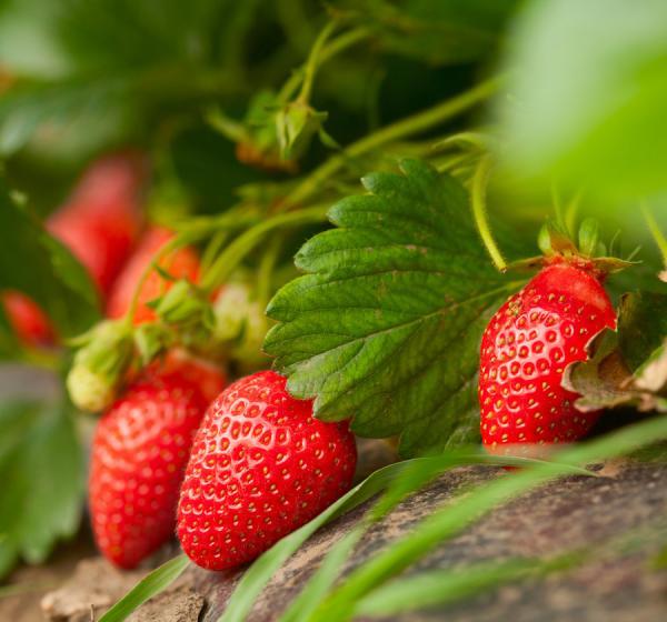 Sun Dried Strawberries