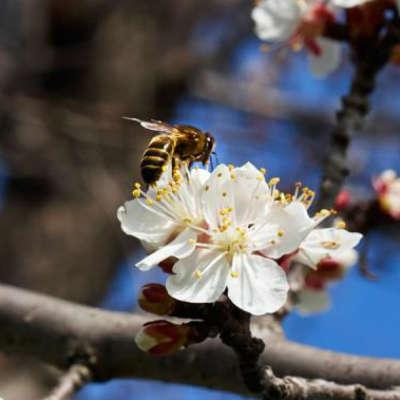 close up of bee on bloom of apricot tree