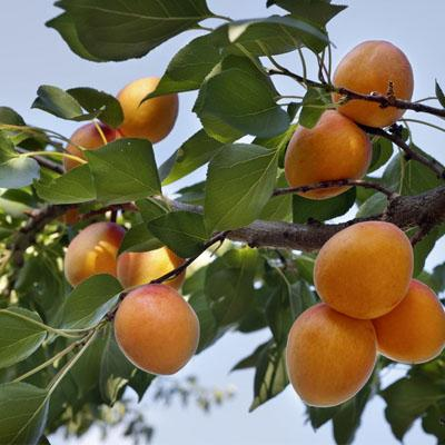 Traina Foods Apricot Orchard