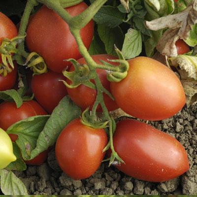 Tomatoes Rich in Lycopene